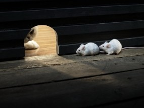 Обои Кошки мышки: Кошка, Охота, Мыши, Разное