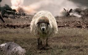 Обои Овца: Овца, Поле боя, Каска, Разное