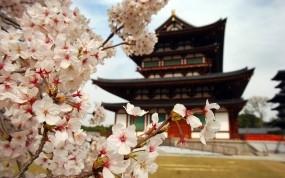 Обои Пагода в Японии: Лепестки, Цветы, Япония, Сакура, Ветви, Города