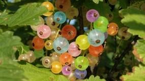 Обои Разноцветная смородина: Ягоды, Цвет, Радуга, Смородина, Ягоды