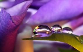 Обои Капли росы: Капля, Листья, Сиреневый, Вода