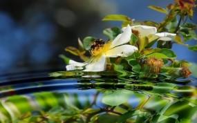 Пчела на шиповнике