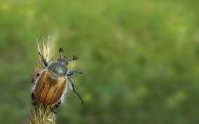 Обои Майский жук: Зелёный, Насекомое, Жук, Насекомые