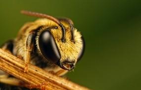 Обои Пчела: Насекомое, Пчела, Насекомые