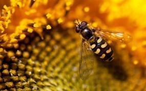 Обои Пчела на подсолнухе: Насекомое, Пчела, Подсолнух, Насекомые