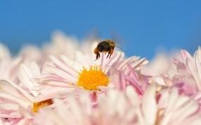 Обои Пчела на цветке: Цветок, Пчела, Насекомые