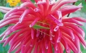Обои Кузнечик на георгине: Цветок, Насекомое, Георгин, Кузнечик, Насекомые
