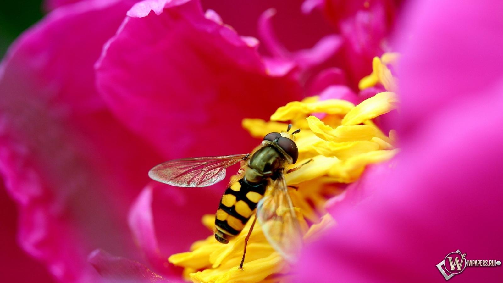 Обои Пчела на цветке на рабочий стол с ...: wpapers.ru/wallpapers/Insects/5517/1600-900_Пчела-на...