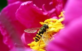 Обои Пчела на цветке: Цветок, Лепестки, Макро, Розовый, Пчела, Насекомые