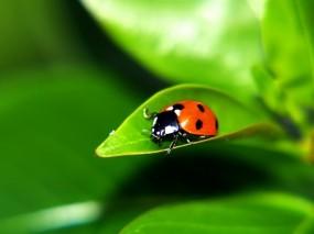 Коровка макро зелёный насекомые