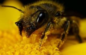 Обои Шмель в пыльце: Макро, Желтый, Шмель, Пыльца, Насекомые