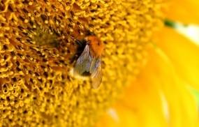 Обои Пчелана подсолнухе: Пчела, Желтый, Подсолнух, Насекомые