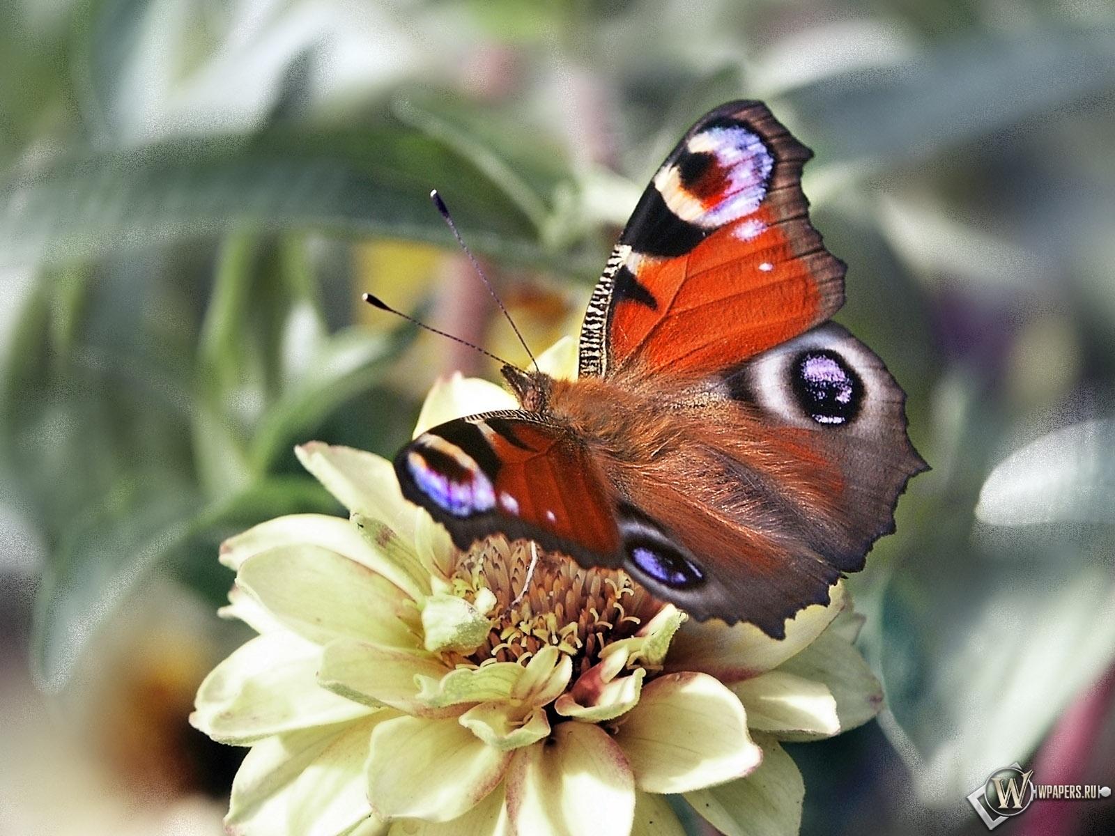 Бабочка павлиний глаз 1600x1200