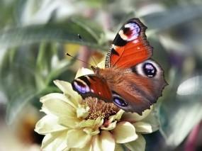 Обои Бабочка павлиний глаз: Бабочка, Бабочки