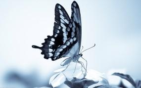 Обои Бабочка: Бабочка, Крылья, Хоботок, Бабочки