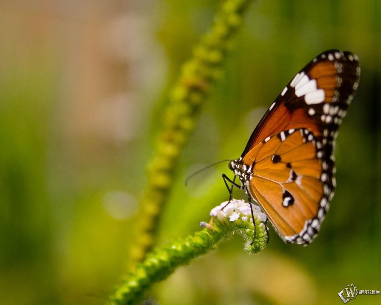Оранжевая бабочка 1280x1024