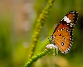 Обои Оранжевая бабочка: Растение, Зелёный, Бабочка, Бабочки