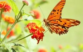 Обои Бабочка на цветке: Цветок, Макро, Бабочка, Бабочки