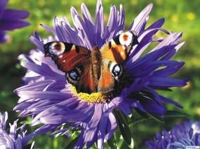 Обои Бабочка: , Бабочки