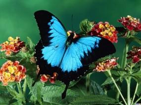 Обои Голубая бабочка: , Бабочки