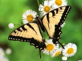 Обои Бабочка махаон: , Бабочки