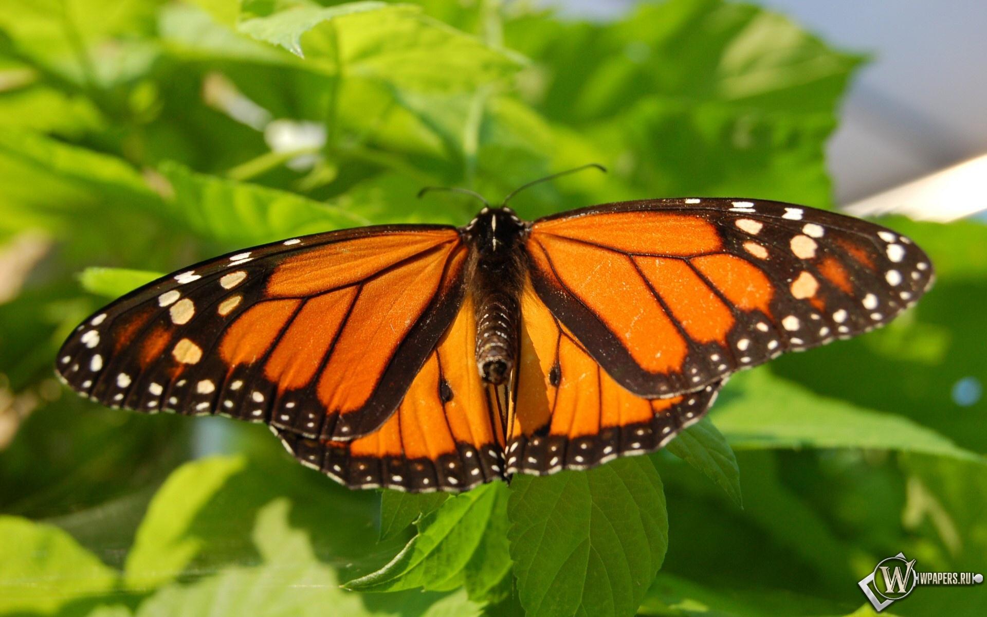 Бабочка-монарх 1920x1200
