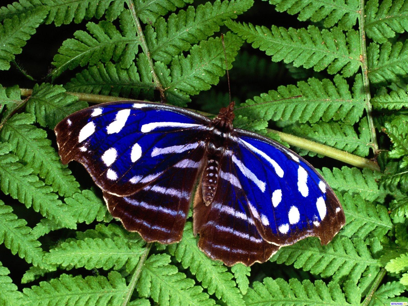 Синяя бабочка 1600x1200