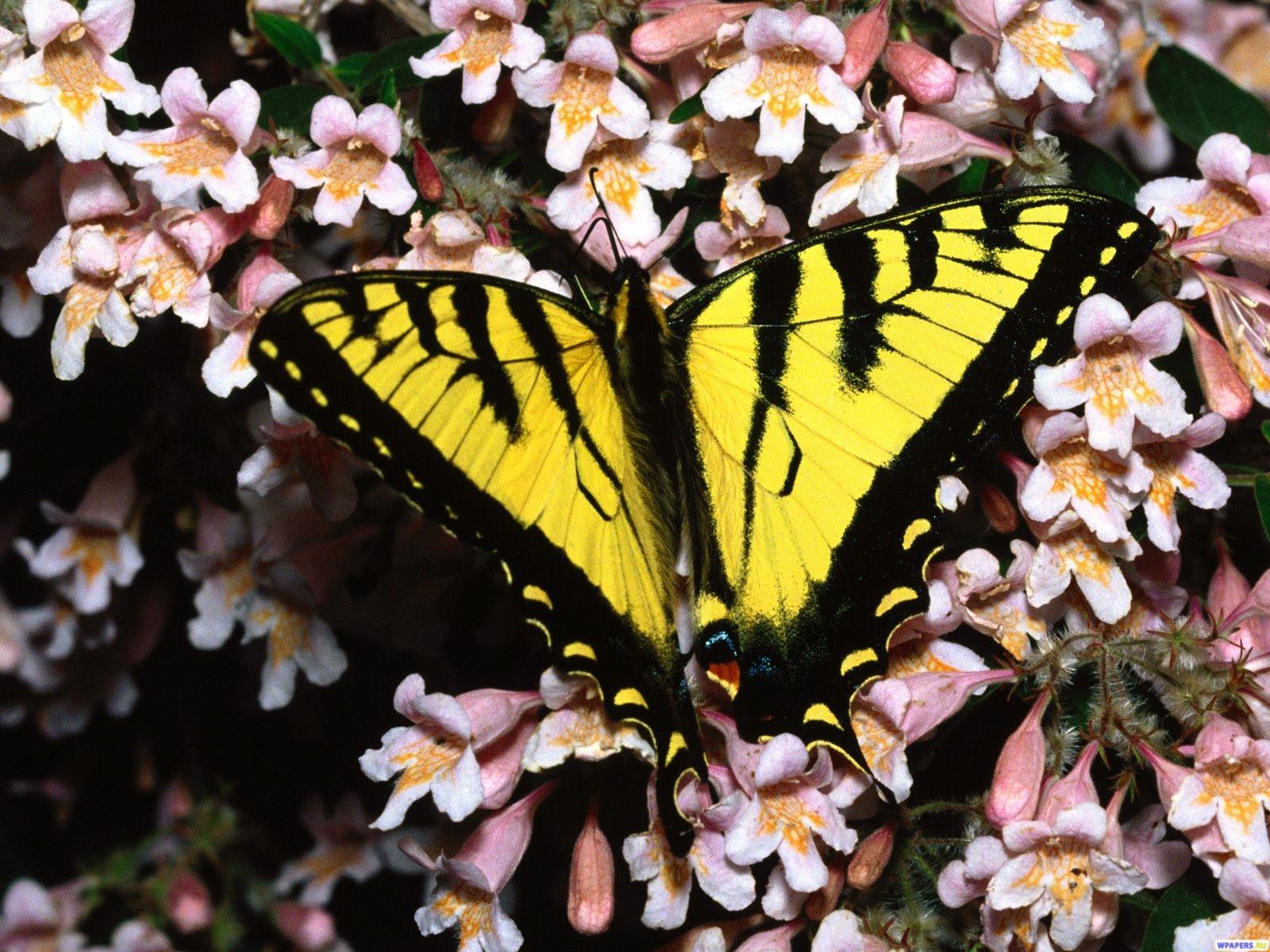 Желтая Бабочка 1600x1200
