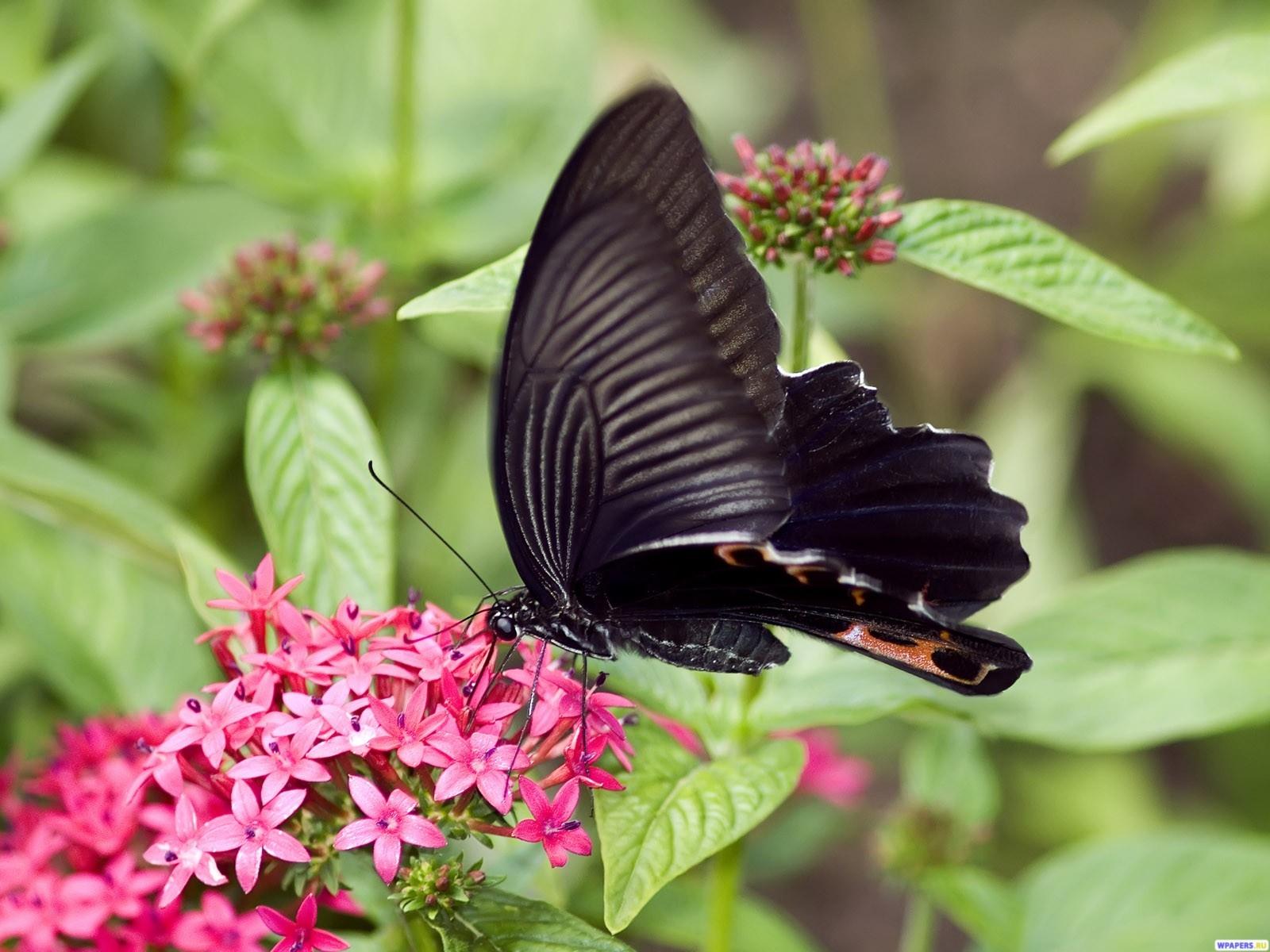 Черная Бабочка 1600x1200