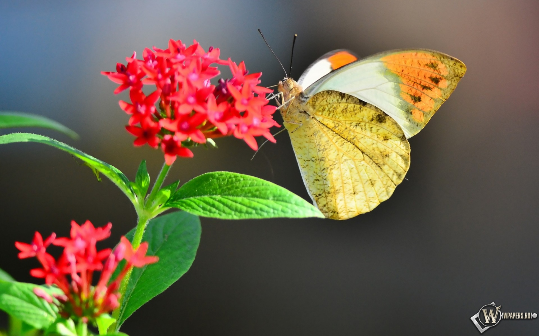 Обои бабочка на цветке на рабочий стол