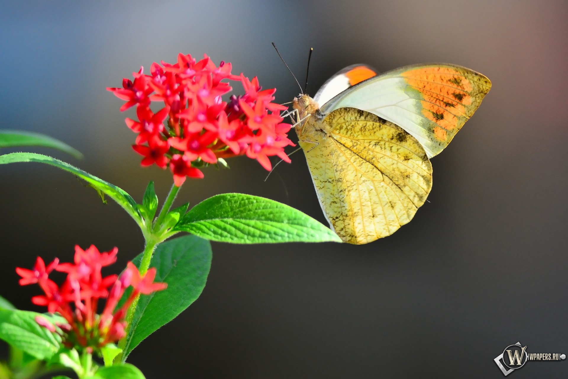 Бабочка на цветке 1920x1280