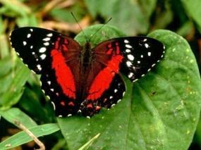 Обои Красная бабочка: , Бабочки