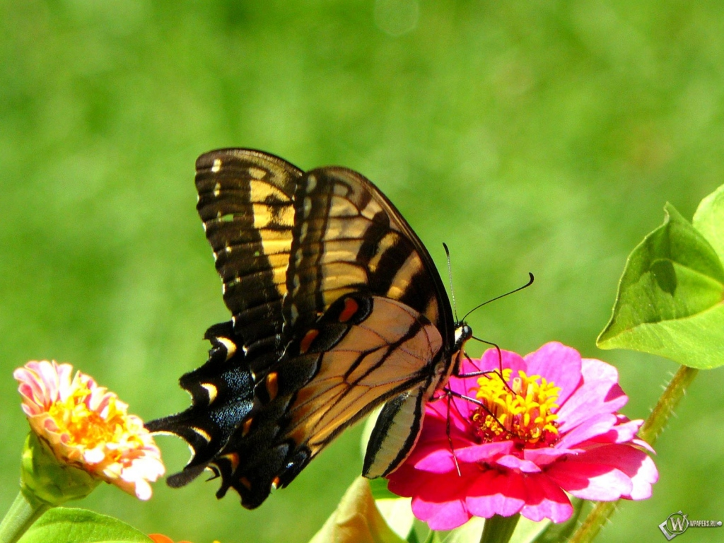 Махаон бабочка 1024x768