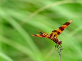 Обои Стрекоза: , Бабочки