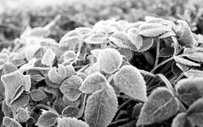 Обои Заиндивелая листва: Иней, Мороз, Листья, Чёрно-белая, Растения