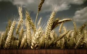 Обои Колосья: Пшеница, Колосья, Растения