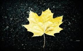 Обои Жёлтый кленовый лист: Осень, Лист, Желтый, Растения