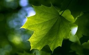 Обои Зелёный кленовый лист: Зелень, Лист, Клён, Лето, Растения