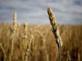 Обои Пшеничный колос: Зерно, Поле, Колос, Растения