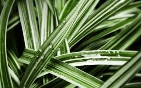 Обои Роса на листьях: Роса, Трава, Растения