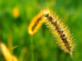 Обои Жёлтый колос: Растение, Трава, Колос, Растения