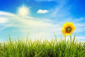 Обои Подсолнух на лугу: Свет, Солнце, Трава, Небо, Подсолнух, Растения