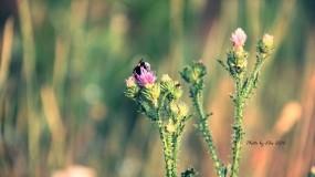 Обои Шмель на цветке: Цветок, Лето, Шмель, Цветы