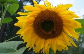 Обои Подсолнух: Подсолнух, Цветы