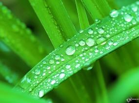 Обои Роса на осоке: , Растения