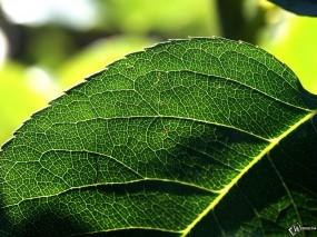 Обои Строение листа: , Растения