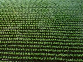 Обои Рисовое поле: , Растения