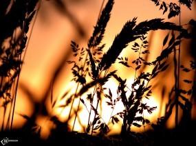 Обои Пшеница на фоне заката: , Растения