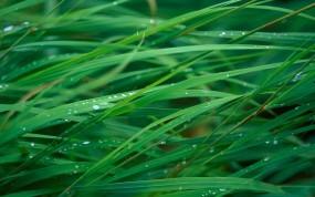 Обои Мокрая трава: Капли, Роса, Трава, Растения