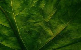Обои Лист с прожилками: Лист, Макро, Прожилки, Зелёный, Растения